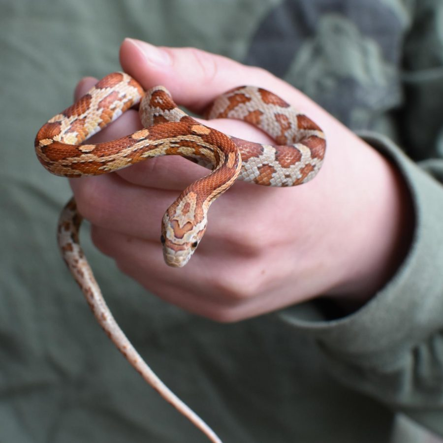 Pet corn snake Millie wraps around its owner's hand.