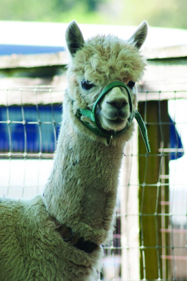 Alpacas+are+one+of+the+dozens+of+animals+included+in+the+31st+annual+Pet+Day.