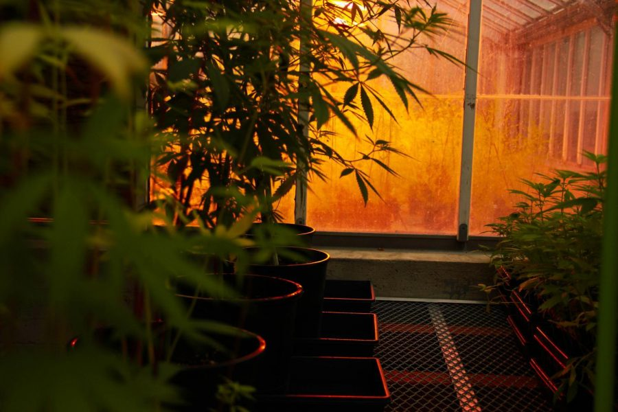 The+light+of+the+greenhouse+shines+differently+on+different+plots+of+hemp+growing+in+the+west+greenhouse.+This+experiment+shows+how+much+light+is+needed+for+hemp+to+be+productive%2C+and+could+influence+which+climates+can+sustainably+grow+hemp+around+the+world.